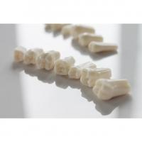 Запасные зубы к фантомной челюсти