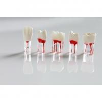 Зуб для обучения в ассортименте (1 шт) 01